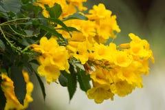 Bij en Gele bloem, Gele ouder Royalty-vrije Stock Afbeeldingen