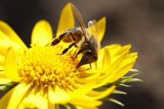Bij en gele bloemclose-up Stock Foto
