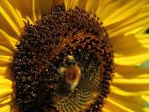 Bij en gele zonnebloem royalty-vrije stock foto's