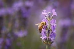 Bij en lavendelbloemclose-up op purper gebied stock foto's