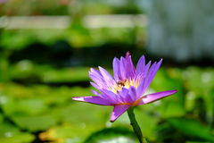 Bij en lotusbloem Royalty-vrije Stock Foto's
