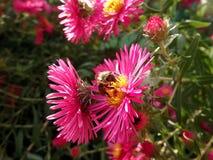 Bij en roze bloemen Stock Foto's