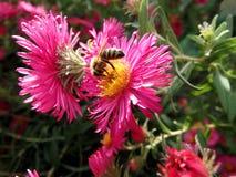 Bij en roze bloemen Stock Fotografie