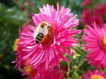 Bij en roze bloemen Stock Afbeelding