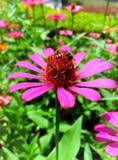 Bij en van Zinnia roze bloem Stock Foto's