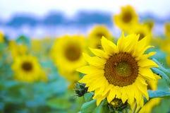 Bij en zonnebloem Royalty-vrije Stock Afbeeldingen