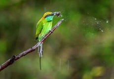 Bij-eter die vlinder op tak eten royalty-vrije stock afbeeldingen