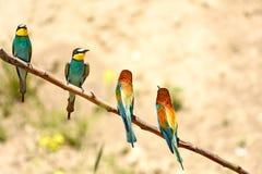 Bij - eter Merops apiaster stock foto