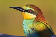 Bij-eter met gekleurde veren stock foto