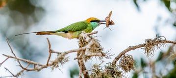 Bij-eter met insect in bek op tak De groene bij-eter royalty-vrije stock foto's