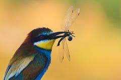 Bij-eter met libellen in zijn bekzitting in de schaduw stock foto
