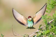 Bij-eter met uitgespreide vleugels stock foto