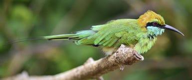Bij-eter op de tak De groene bij-eter Meropsorientalis royalty-vrije stock afbeeldingen