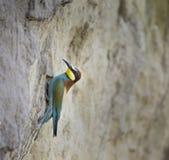 Bij-eter op nest royalty-vrije stock afbeelding