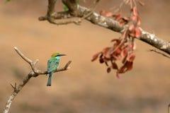 Bij-eter vogel of smaragd spint in Sri Lanka stock afbeelding