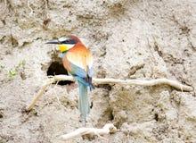 Bij-eter voor nest royalty-vrije stock afbeelding