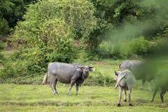 A bij het denken van buffels Royalty-vrije Stock Afbeeldingen
