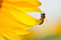 Bij het hangen op de rand van een zonnebloembloemblaadjes Stock Foto's