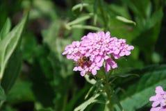 Bij het voeden op bleek - roze candytuft, hoe te groeien candytufts royalty-vrije stock fotografie