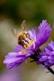 Bij het voeden op bloem royalty-vrije stock afbeelding
