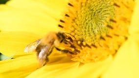 Bij het voederen op een zonnebloem tijdens een mooie de recente zomermiddag stock videobeelden