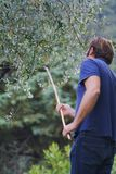 Bij het werk in een aanplanting van olijfbomen stock afbeeldingen