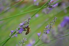 Bij in lavendel royalty-vrije stock afbeelding
