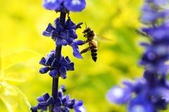 Bij in liefde met bloemen Stock Foto