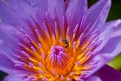 Bij in lotusbloem Stock Foto
