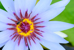 Bij in lotusbloem Royalty-vrije Stock Afbeeldingen