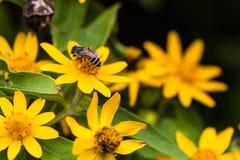Bij met gele bloemen in tuin Stock Foto's