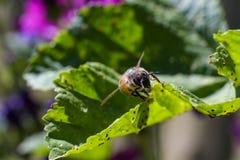 Bij met van stuifmeel in bont op groen bladhoogtepunt van kleine insecten onderaan stock foto