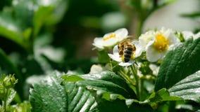 Bij op aardbeibloemen stock footage