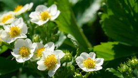 Bij op aardbeibloemen stock video
