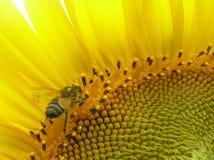 Bij op bloeiwijze van zonnebloem. Stock Afbeeldingen
