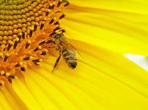 Bij op bloeiwijze van zonnebloem. Stock Fotografie