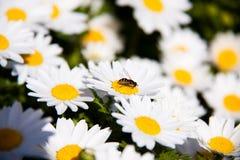 Bij op bloem Royalty-vrije Stock Foto's