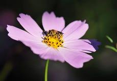 Bij op bloem Stock Afbeeldingen