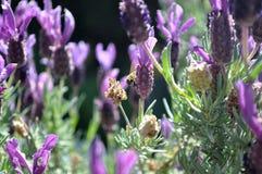 Bij op bloem Stock Fotografie