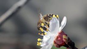 Bij op bloem stock videobeelden