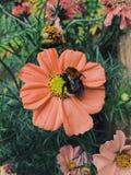 Bij op bloem royalty-vrije stock afbeelding