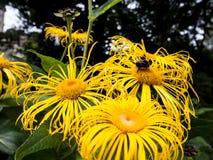 Bij op bloemen Royalty-vrije Stock Foto