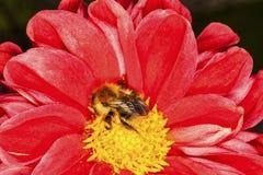 Bij op Dahlia Flower Stock Afbeeldingen