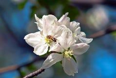 Bij op de appelbloesem Stock Foto's