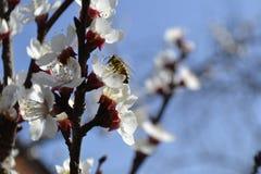 Bij op de appelboom Royalty-vrije Stock Fotografie