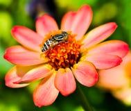 Bij op de bloem. Stock Foto