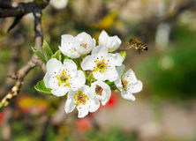 Bij op de bloem Stock Foto's