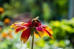 Bij op de bloem Royalty-vrije Stock Foto