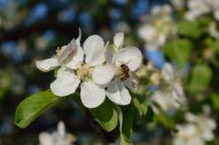 Bij op de bloem Stock Fotografie