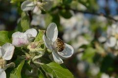 Bij op de bloem Stock Foto